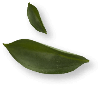 Leaves at a white background